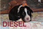 Picture of AKC Diesel