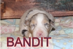 Picture of AKC Bandit