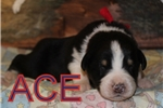 Picture of AKC Ace