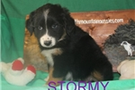 Picture of Stormy AKC