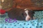 Picture of Kea