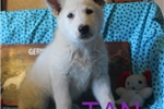 Picture of TAN AKC White German Shepherd