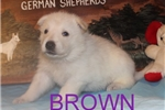 Picture of Brown AKC White German Shepherd