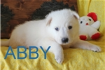 Picture of Abby AKC