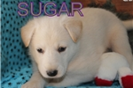 Picture of Sugar AKC