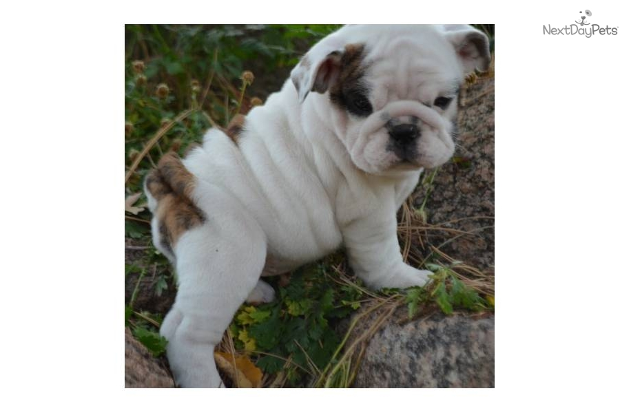 White English Bulldog Puppies