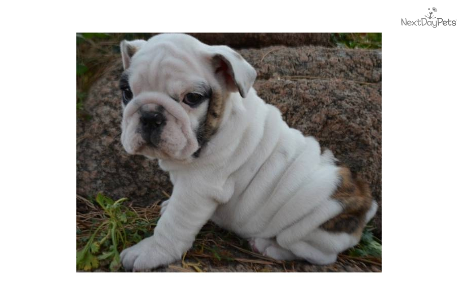 VIDEO: Meet Jasmine a Cute English Bulldog Puppy for Sale ...