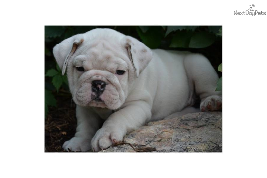 English Bulldog puppy for sale near Colorado Springs ...