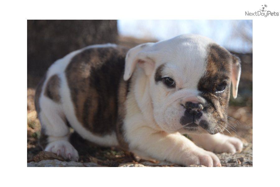 Gray English Bulldog Puppies
