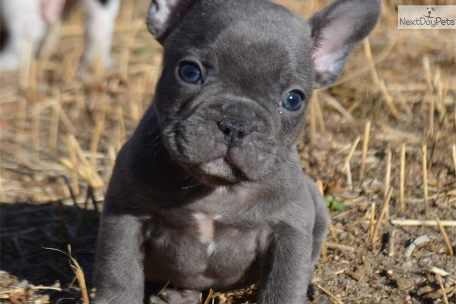 French Bulldog Puppies For Sale 4 | Dog Breeds Picture
