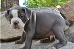 Picture of 'Ace' AKC Blue English Bulldog Puppy for sale