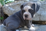 Picture of 'Ariel' AKC Blue English Bulldog Puppy for sale