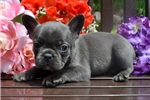 Picture of 'Doc Holiday' AKC Blue Male French Bulldog