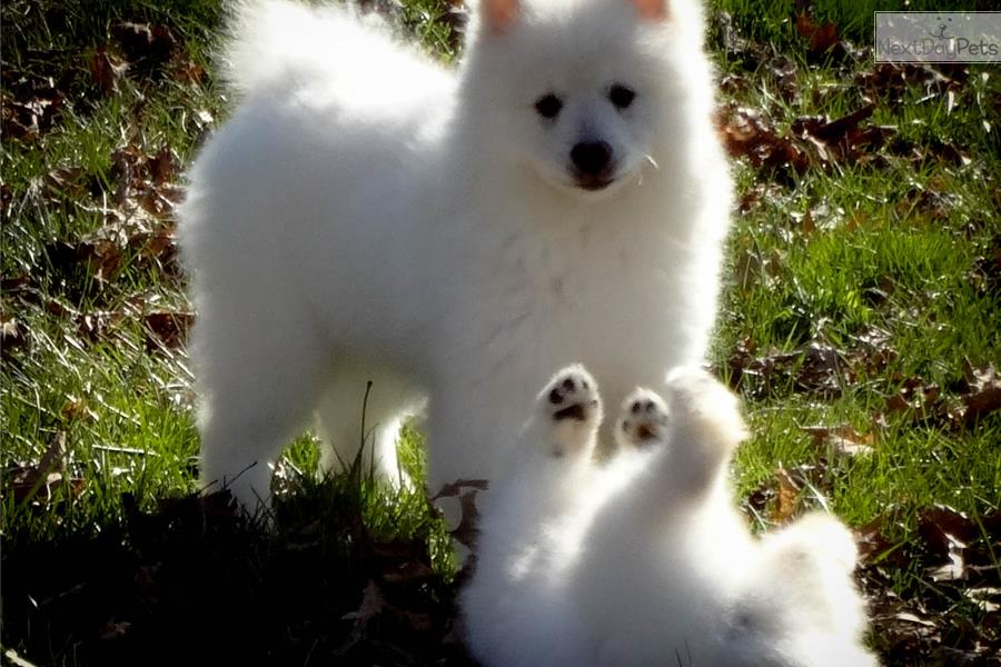 Images Of Keeshond White Summer