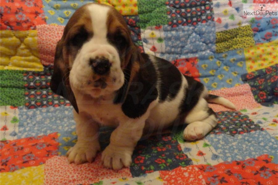 Basset Hound puppy for sale near Grand Island, Nebraska ...