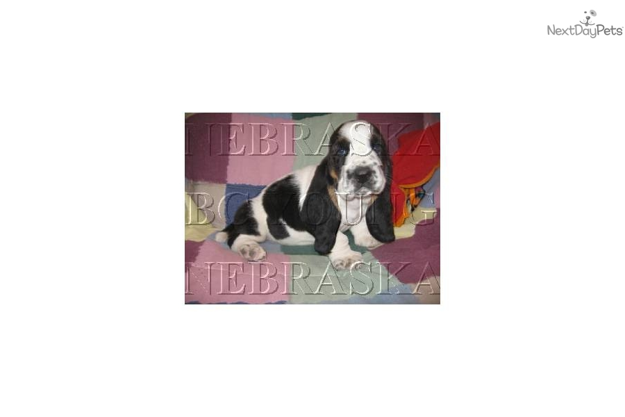 Puppies for Sale from Bc Young - Member since June 2005