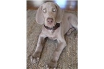 Picture of AKC CH Silver Weim