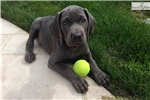 Picture of AKC Blue Weimaraner Girl