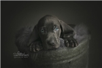 AKC Blue Weimaraner Girl | Puppy at 4 weeks of age for sale