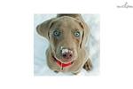 Picture of AKC CH bloodline Weim puppy