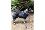 Picture of AKC Australian Cattle Dog Puppy