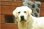 Picture of AKC English Yellow Lab Pups Ready for Christmas!!
