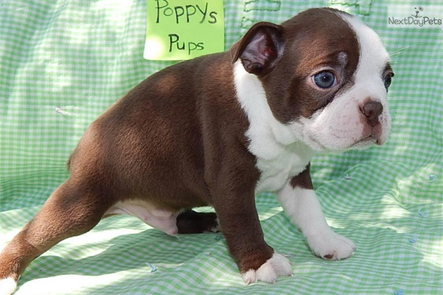 Boston Terrier Puppies and Dogs for Sale in Indiana, USA