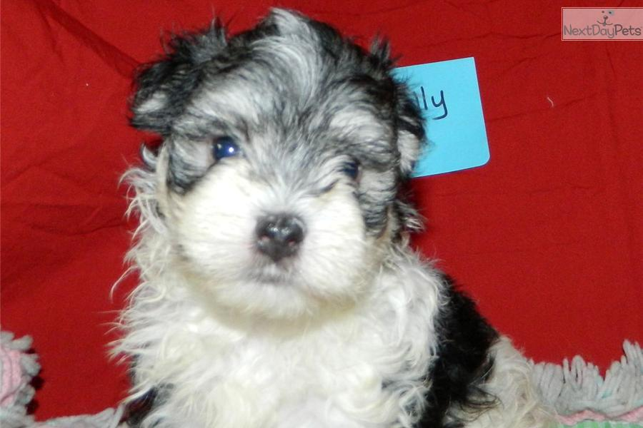 Morkie Yorktese Puppy For Sale Near South Bend