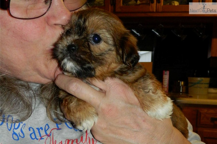 Female a cute Shorkie puppy for sale for $575. Darling little shorkie ...
