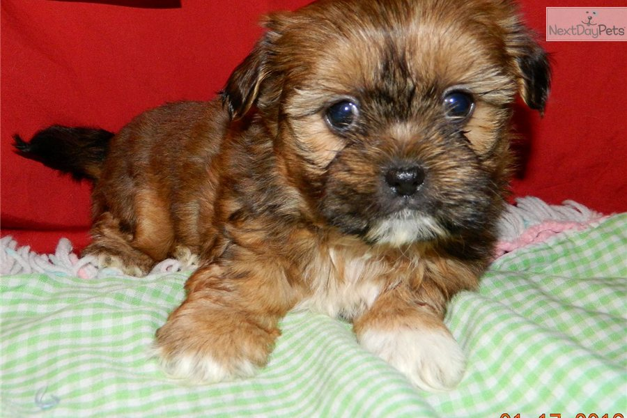 Male a cute Shorkie puppy for sale for $575. Handsome little shorkie ...