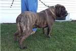 Picture of Winnie & Master's Brindle F  in NE Ind