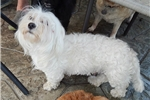 Picture of Pretty Coton/Toy Poodle girl in Northeast Indiana