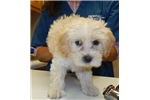 Picture of Houseraised Coton/Toy Poodle F#2 in NE Indiana
