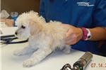 Picture of Houseraised Coton/Toy Poodle girl in NE Indiana
