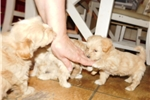 Picture of Houseraised Coton/Toy Poodle F in NE Ind