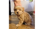 Picture of Houseraised Coton/Toy Poodle M in NE Ind
