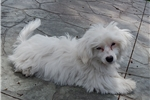 Picture of Pretty COTON-POO F in Northeast Indiana