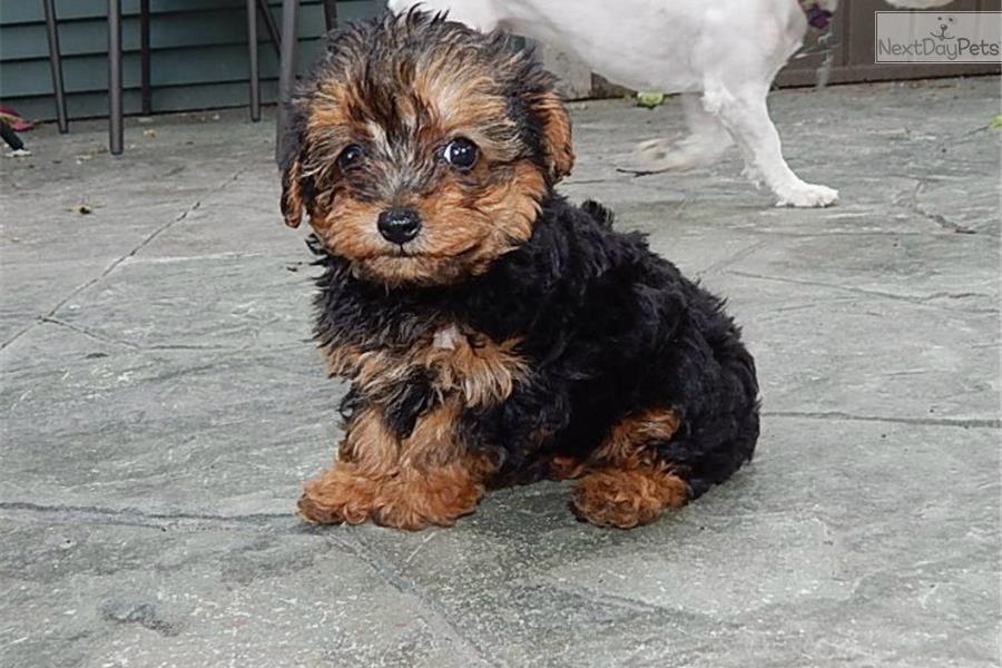 Meet Female a cute Yorkiepoo - Yorkie Poo puppy for sale ...