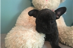 Picture of AKC French Bulldog -