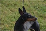 Picture of Standard Manchester Terrier