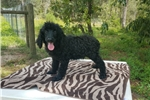 Picture of Ch Line Black Standard Poodle