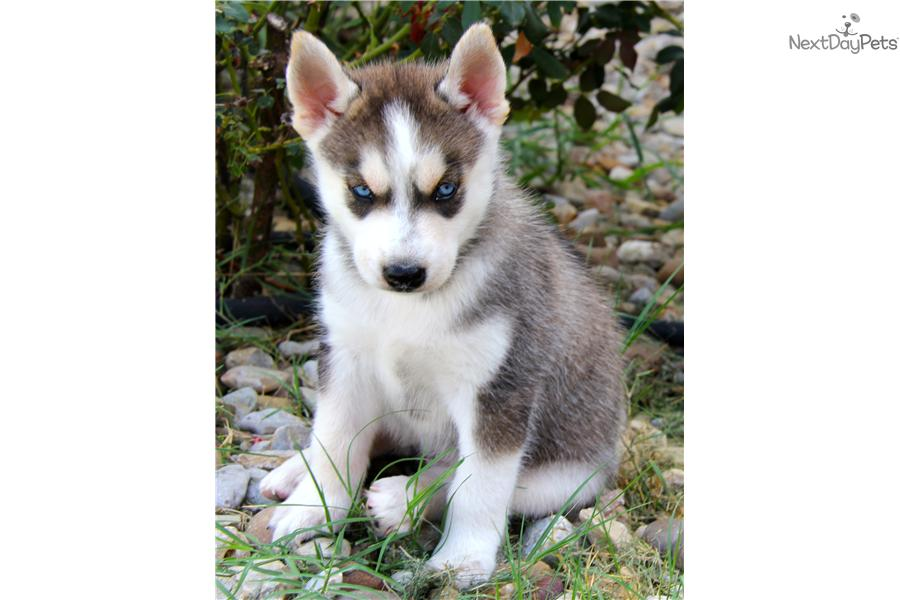siberian husky puppies for sale in east texas clinic
