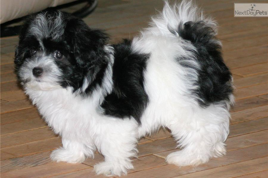 Havanese Dogs For Sale In Georgia