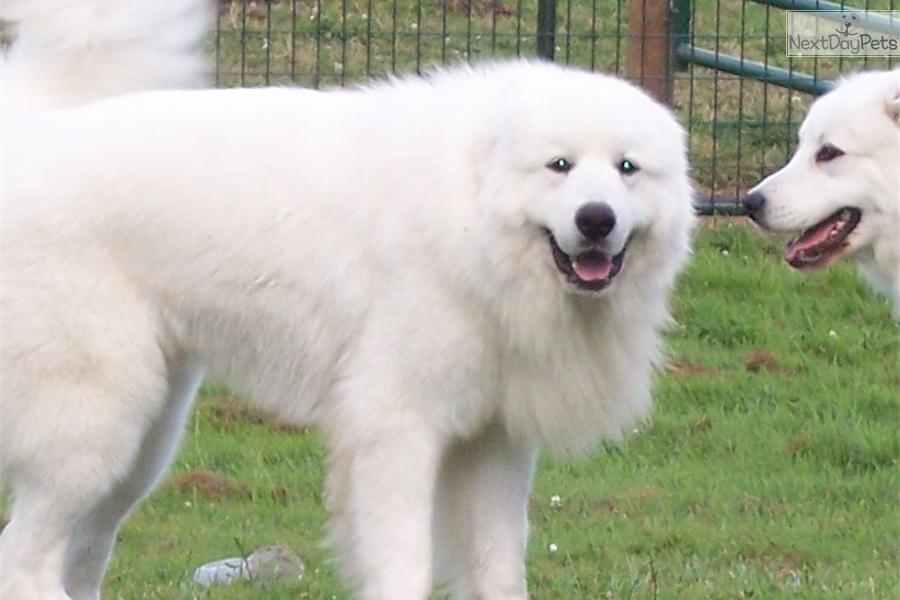 Pin Great Pyrenees Puppies on Pinterest