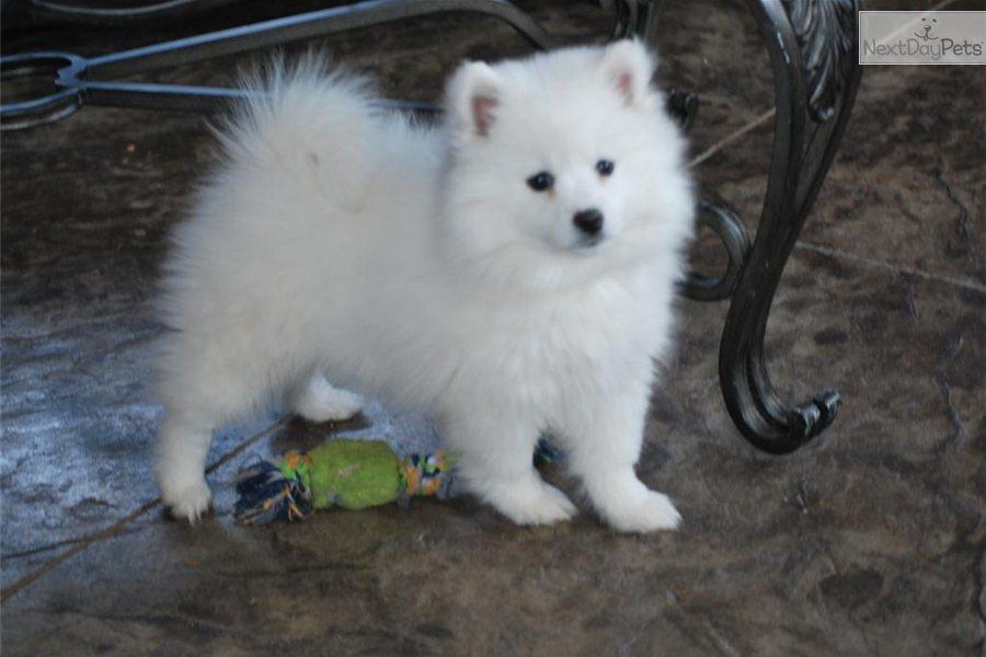 American Eskimo Miniature Dog For Sale