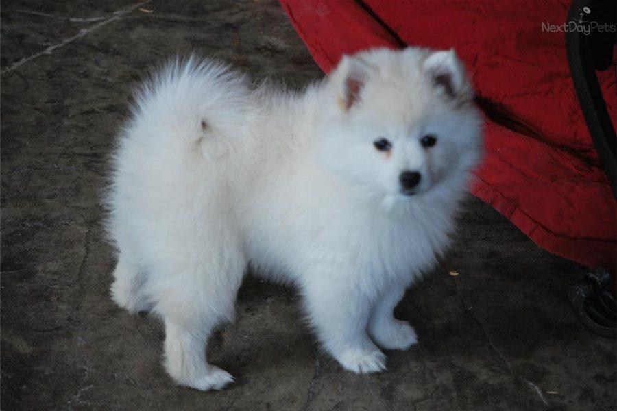Mini Eskimo Dog For Sale