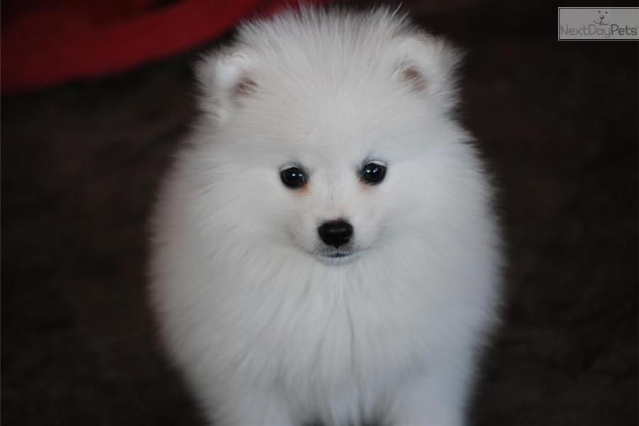 meet female a cute american eskimo dog puppy for sale for  1 500  miki yellow  toy