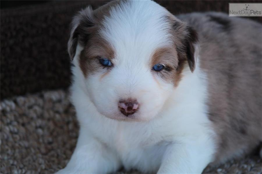australian shepherd puppies for sale near me dog breeds