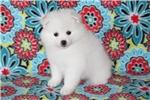 Picture of UKC Champion toy female American Eskimo/Ms.White
