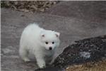 Picture of UKC Champion mini male American Eskimo/Mr. Emerald